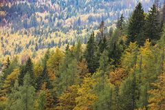 Colorful deciduous and coniferous trees in the magic forest. Colorful and healthy deciduous and coniferous trees in the early autumn morning. Autumn forest Stock Images