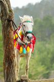 Colorful decorated horse hitched to tree. Colorful decorated horse tethered tree Stock Photos