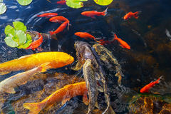 Colorful decorative fish float in an artificial pond, Royalty Free Stock Photo