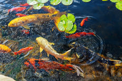 Colorful decorative fish float in an artificial pond, view from above Royalty Free Stock Photo