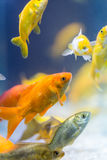 Colorful decorative fishes Stock Images