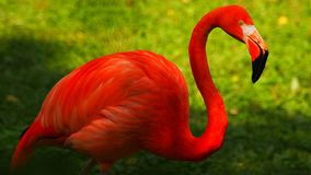 Colorful deep red flamingo in a zoo stock images