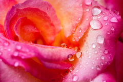 Colorful, delicate rose petals and water drops Stock Image