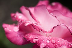 Colorful, delicate rose petals and water drops Stock Photos
