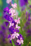 Colorful delphinium flowers Royalty Free Stock Photography