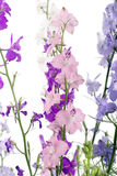 Colorful  Delphinium flowers Royalty Free Stock Photos