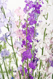 Colorful Delphinium flowers Stock Photo