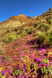 Colorful desert flowers blooming in Death Valley Royalty Free Stock Photo