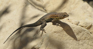 Colorful desert lizard on rock. Desert lizard with colorful dots on back sitting on a  rock Stock Photos