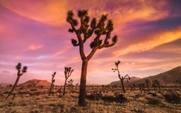Colorful Desert Sunset In High Elevation Joshua Tree National Park. Blue, pink, orange and yellow clouds in the sky, yucca and joshua tress with mountains in royalty free stock images