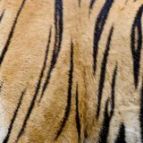 Colorful detail of tiger pelt Royalty Free Stock Photos