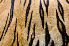 Colorful detail of tiger pelt Stock Photography