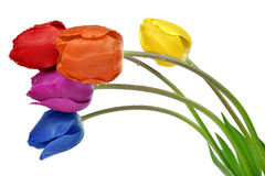 Colorful dewy tulips Royalty Free Stock Photo