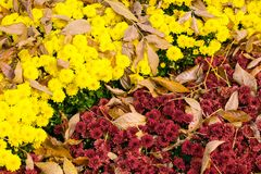 Colorful diagonal floral autumn background of yellow and purple. Chrysanthemums with fallen leaves. Autumn flowerbed with bright varietal chrysanthemums royalty free stock images