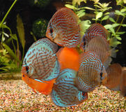 Colorful discus Stock Image