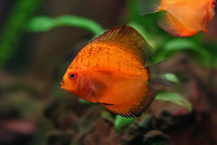 Colorful Discus Royalty Free Stock Photography