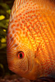 Colorful discus fish Royalty Free Stock Photography