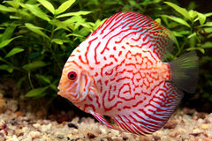 Colorful discus fish Royalty Free Stock Images