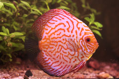 Colorful discus fish Stock Image
