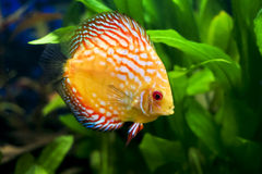 Colorful Discus fish. Side view of colorful Discus fish swimming with green plants in background stock photography