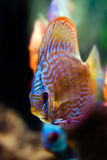 Colorful discus fish Royalty Free Stock Image