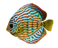 Colorful discus fish Stock Photos