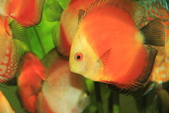 Colorful discus fish Stock Photos
