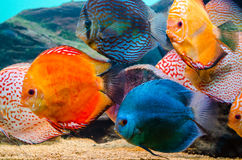 Colorful discus fish. A group of colorful discus fish in an aquarium Royalty Free Stock Photography