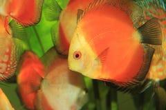 colorful discus fish tropical стоковые фото
