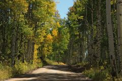 Golden Aspens showing off their colors in the Rocky Mountains Stock Image