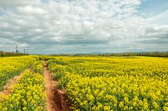 Yellow Canola fields and a cloudy sky. Royalty Free Stock Photos