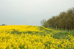 Yellow Canola fields and a cloudy sky. Royalty Free Stock Photo