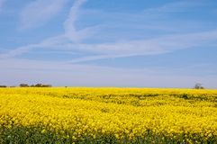 Yellow Canola fields in the English summertime. A colorful display of beautiful yellow canola flowers and crops in a British countryside field Royalty Free Stock Photo