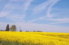 Beautiful yellow Canola fields in the English summertime. A colorful display of beautiful yellow canola flowers and crops in an English countryside field Royalty Free Stock Image