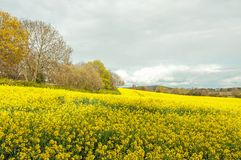Beautiful yellow Canola flowers in the English summertime. A colorful display of beautiful yellow canola flowers and crops in an English countryside field Royalty Free Stock Image