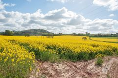 Yellow Canola flowers in the English summertime. A colorful display of beautiful yellow canola flowers and crops in an English countryside field Stock Images