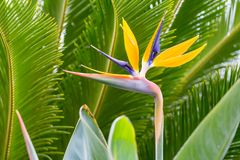 Bird of Paradise Blooming Flower. This colorful and distinctive flower bloom points the way in front of tropical palms behind it Royalty Free Stock Photo
