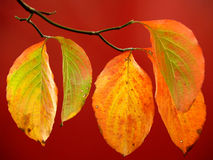 Colorful Dogwood Leaves on Red in Autumn. Changing Dogwood leaves (Cornus sanguinea) seen in Autumn in front of a red wall on a bright fall day in Sellersville Royalty Free Stock Photography
