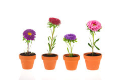 Colorful double asters Stock Photos
