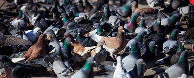 Domestic pigeons, doves are standing or eating in the middle of a street. Close up view with details. Colorful dovecotes are standing or eating in the middle of Stock Photography