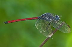 Colorful dragonfly Royalty Free Stock Photos