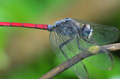 Colorful dragonfly Stock Photography