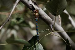 Colorful Dragonfly on a branch with leaves Stock Photography
