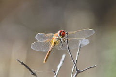 Colorful dragonfly on front Royalty Free Stock Photo