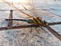 Colorful Dragonfly having a break time Stock Photos