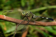 Colorful of Dragonfly in nature royalty free stock photography