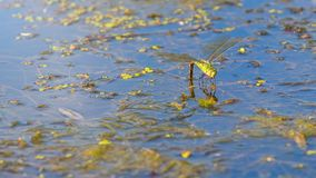 Colorful dragonfly on a plant reflecting in the water. Dragonfly royalty free stock images