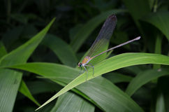 A colorful dragonfly in Thai forest Stock Photography