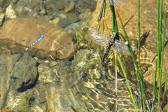 Colorful dragonfly in the water. Aran valley Royalty Free Stock Photo