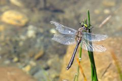 Colorful dragonfly in the water. Aran valley Stock Photos